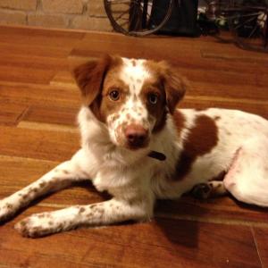 Gypsy_BRIT_Dog_Rescue_TX_1