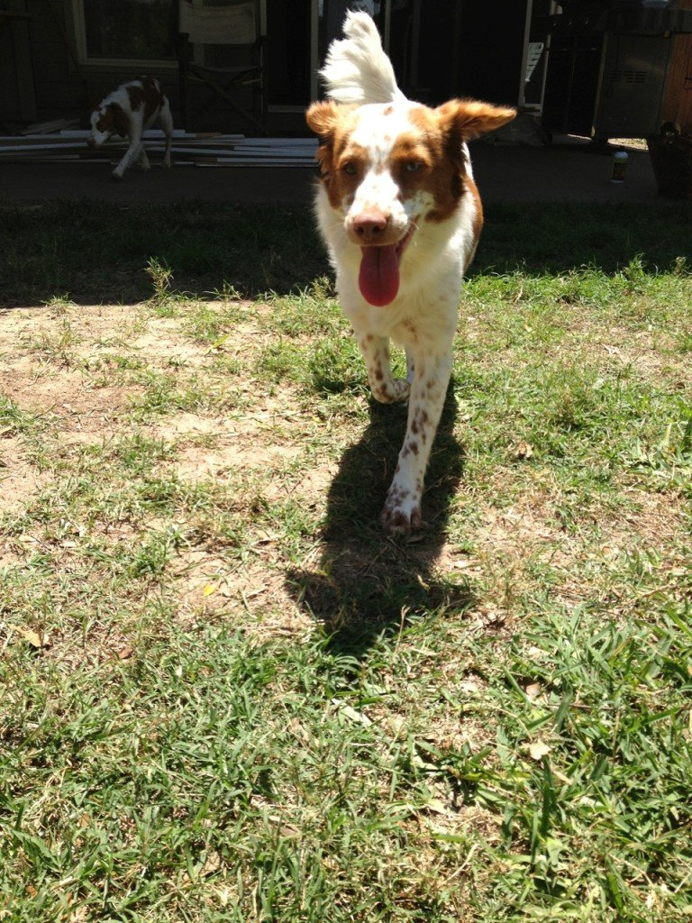 Gypsy_BRIT_Dog_Rescue_TX_3