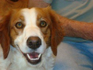 Hope - Brittany Spaniel Adoption - 4