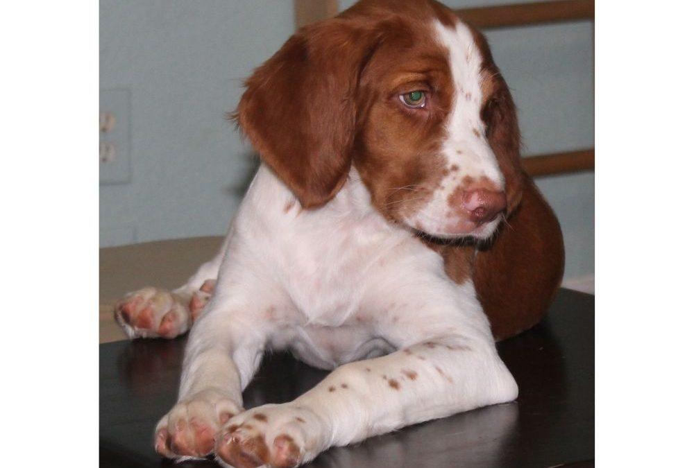 Jake (Puppy)