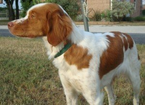 Laci Brittany Spaniel for adoption