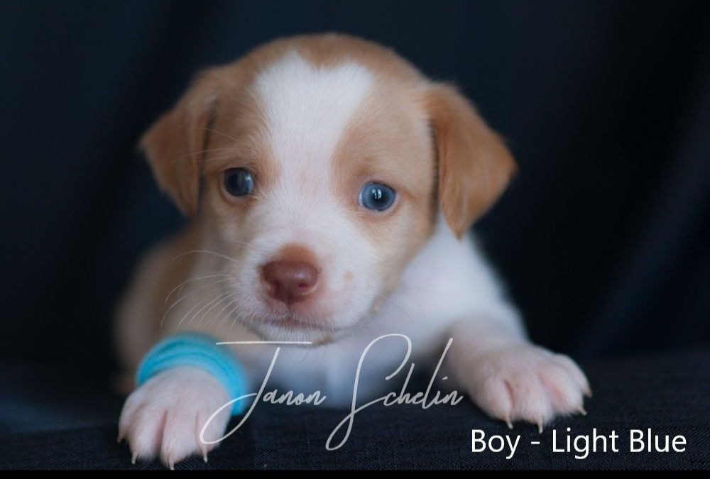 Puppy, Boy, Light Blue collar