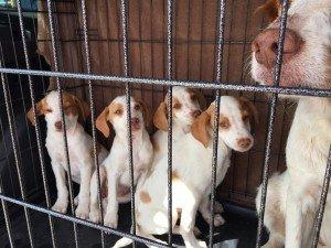 Parvo Puppies