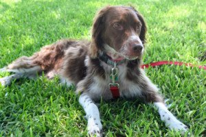Max Brittany Dog for Adoption 1