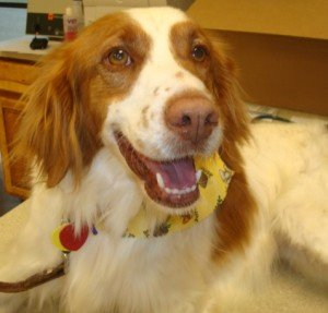 Missy-1-Brittany-Spaniel-Adoption-Texas-3-21-12