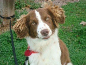 Paisley x1 Rescue Brittany