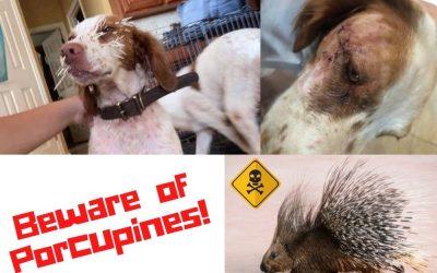 Dangers of Porcupine Encounters