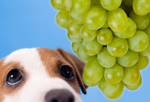 RAISIN the Alarm! Raisins and Grapes are TOXIC to Brittanys!
