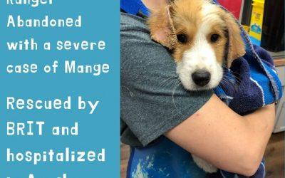 Ranger – rescued with Mange