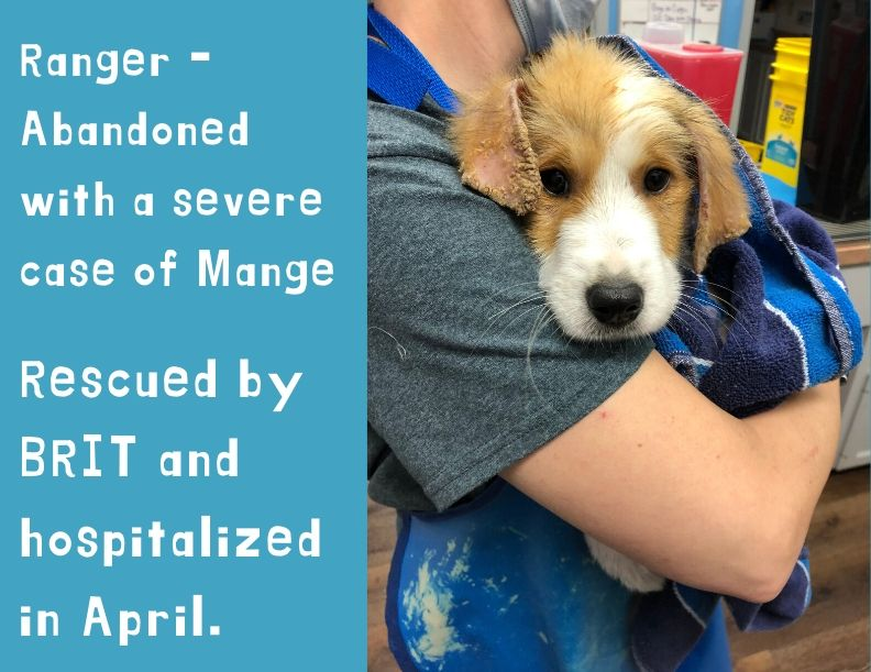 Ranger – rescued with Mange