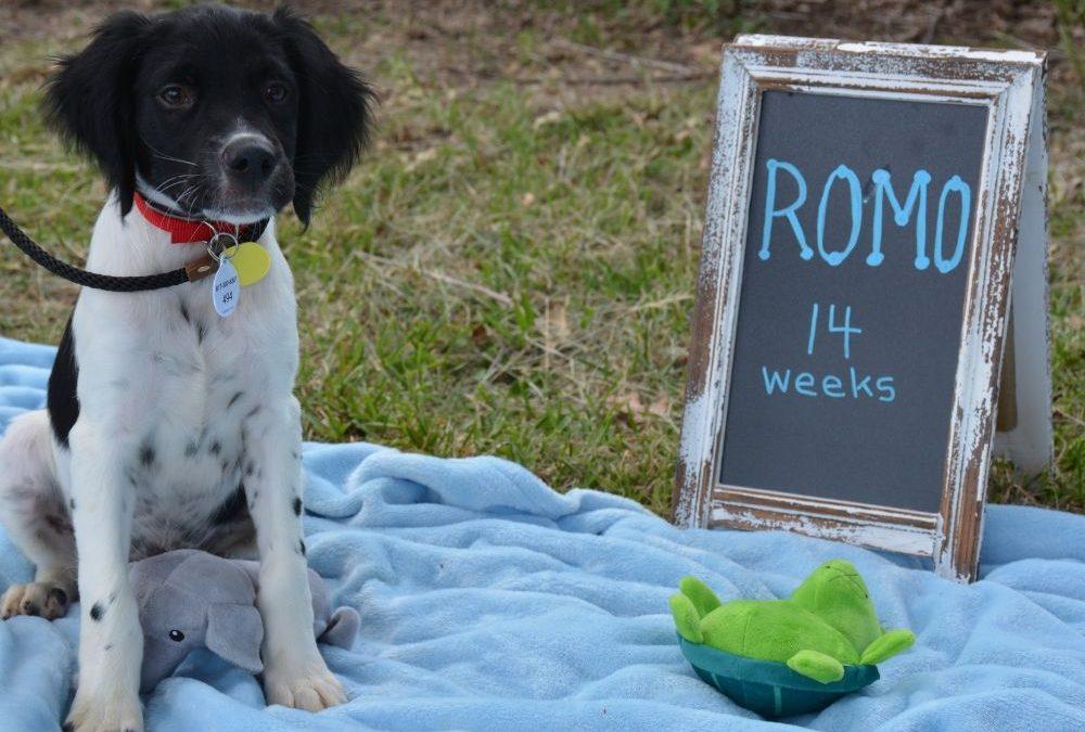 Romo (Puppy)