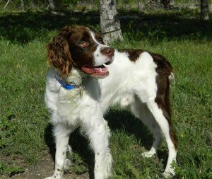 Scotty_Brittany_Spaniel_Rescue_Texas_3