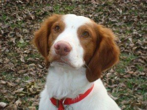 Sully - Brittany for Adoption