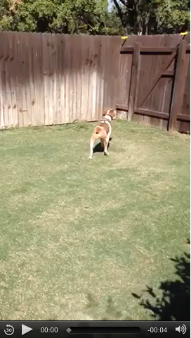 Is your Brittany an Escape Artist?