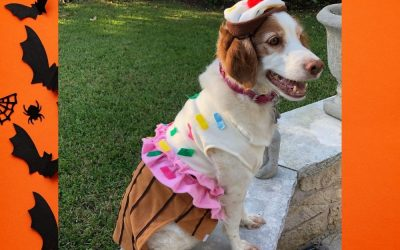 Halloween Tips For Your Brittany