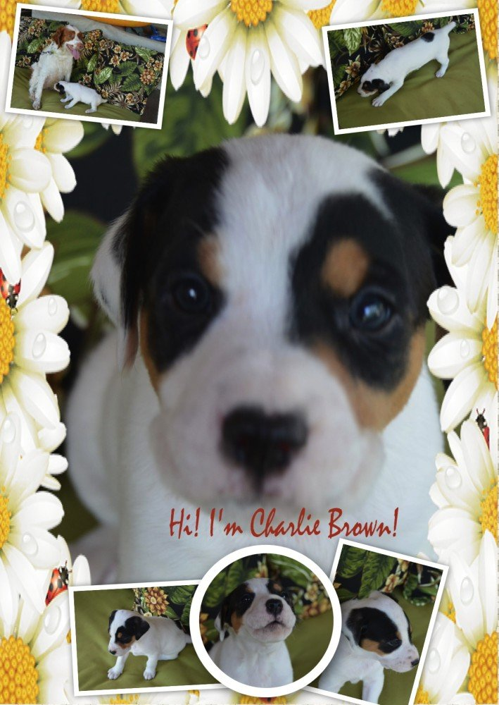 Charlie - Brittany Puppy for Adoption